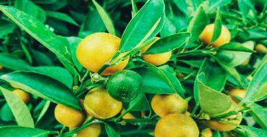 Ahorra Dinero, Cultiva tus Propios limones te Decimos Como 4