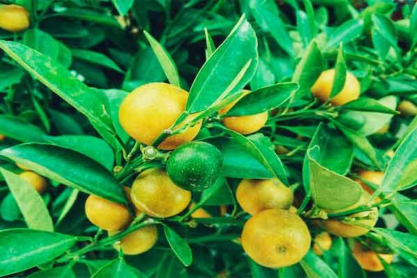 Ahorra Dinero, Cultiva tus Propios limones te Decimos Como 1
