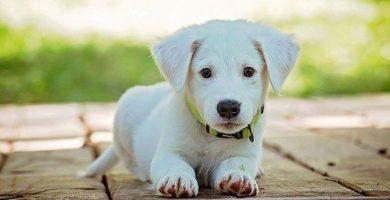 collar-para-pulgas-para-perro