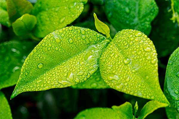 beneficios-del-te-verde