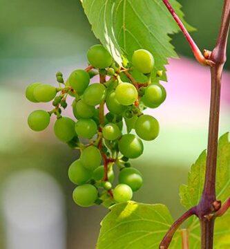 uva verde medicinal