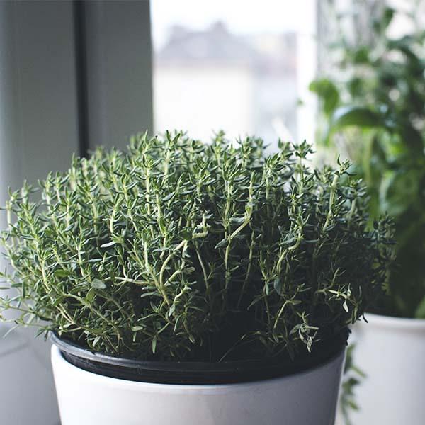 planta de tomillo